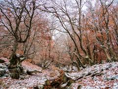 Primeras nieves (josefacalzado) Tags: otoño coloresdelotoño autumn autumncolors paisajes naturaleza naturephotography fotografíadenaturaleza fotografíadepaisaje fotografíadepaisajes nieve snow hayedodelapedrosa hayedos trees árboles forest bosques landscape landscapephotography