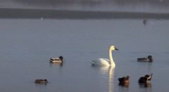 Swan and Ducks (Rosewood Street Photo) Tags: wildlife birds sunrise water oregon nature public lands