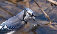 Geai bleu // Blue Jay (Alexandre Légaré) Tags: geai bleu blue jay cyanocitta cristata oiseau bird avian animal wildlife nature nikon d7500 quebec canada marais sherbrooke swamp stfrancois realdcarbonneau