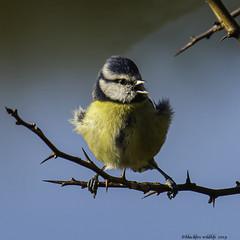 squawk (blackfox wildlife and nature imaging) Tags: olympusomd1mkii leica100400 bluetit chaffinch burtonmerewetlands wirral