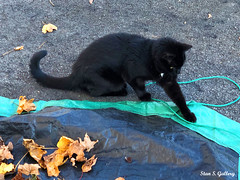 "Autumn 2019 - ""Sneaky"" helping with cleaning up the leaves (Stan S. Gallery) Tags: autumn fall leaves tarp pavement cat november animal pet paw blackcat"