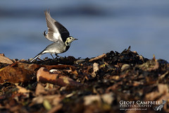 Lift-off - Pied Wagtail (Motacilla alba) (gcampbellphoto) Tags: motacilla alba pied wagtail bird avian nature wildlife north antrim ballycastle gcampbellphoto