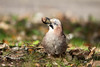 Le Geai Gourmand (maximegadret) Tags: geai chenes gourmand bird oiseau