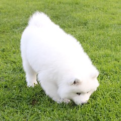 2128 PAS ICI (rustinejean) Tags: rustine samoyede blanc white chien dog vert pelouse traineau