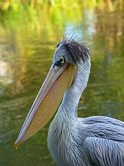 Another posing pouch (ORIONSM) Tags: bird pelican portrait face beak eye nature wildlife olympus omdem1 olympus40150mmprof28
