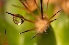 Cactus (btc67) Tags: cactus plante goutte eau danger pique