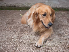 GFX2175 - Disney (Diego Rosato) Tags: disney cane dog animale animal pet golden retriever fuji gfx50r fujinon gf63mm rawtherapee