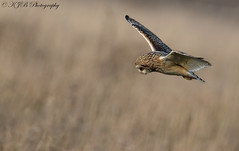S.E.O (KJB Photography.) Tags: see shorty short eared owl fenland wetland farmland