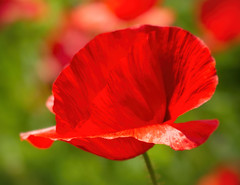 Lest We Forget (Katrina Wright) Tags: dsc3948edit redpoppies poppy macro remembrance veteransday november11 armistice red flowers honour memory worldwari worldwarii vibrant vivid lestweforget neverforget