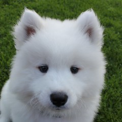 2129 PAS LA (rustinejean) Tags: rustine samoyede chien dog blanc white