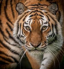 Tschuna - The Look-1 (tiger3663) Tags: amur tiger tschuna look yorkshire wildlife park