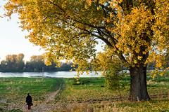 Am Rheinufer - Urdenbacher Kämpe (KL57Foto) Tags: urdenbacherkämpe 2019 aue auenlandschaft düsseldorf düsseldorfurdenbach germany herbst kl57foto kämpe nrw natur nordrheinwestfalen november omdem1 olympus rheinaue urdenbach rhein rhine fluss river ufer rheinufer
