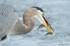 Greed? (Earl Reinink) Tags: bird animal food fish heron water greatblueheron outdoors nature fishing ddadeaeaea