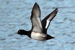 tufted duck (DODO 1959) Tags: wildlife tuftedduck nature fauna flight birds duck outdoor animal avian canon 100400mmmk2 7dmk2 carmarthenshire wales llanelli wwt boardwalkhide