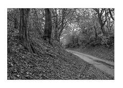 Forest scene (K.Pihl) Tags: path leicam5 autumn 50mmsummiluxf14 road monochrome trees forest film hc110b pellicolaanalogica schwarzweiss bw kodaktmax400 analog blackwhite
