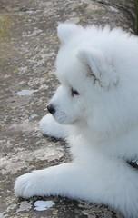 2130 PAS PAR LA (rustinejean) Tags: rustine samoyede chien dog