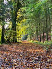 En forêt. Lesquiffiou, nov 2019 (Bernard Pichon) Tags: pleyberchrist finistère france fr29 bpi760 bzh penarbed forêt nature arbre automne