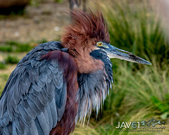 Goliath heron (Ardea goliath)-6544 (George Vittman) Tags: birds nature wildlife france heron egret portrait nikonpassion wildlifephotography jav61photography jav61