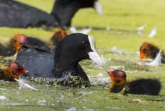 Coot feading chick (TojoLeo) Tags: nature wildlife coot blässhuhn birds nikon d500 200500