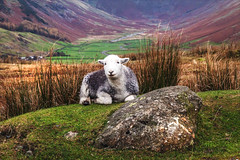 The Guardian of the valley - Herdwick ewe above the Langdale Valley (Iand49) Tags: langdalevalley ambleside lakedistrict cumbria england europe fells boulder greengrass sheep ewe herdwick heftedsheep mammal whiteface november autumn ruggedscenery nature outdoors landscape tranquil serene picturesque scenery scenicview tourism travel holidays fellwalking rambling hiking countryside rural remote woolly goldenbracken autumnalcolours thelakes lakeland