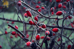 rose hip november (Ralaphotography) Tags: rose hip november season autumn fall frost blue red berries morning twigs nature cold photography