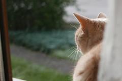 ... ce qu'ils regardent ... (nounette88) Tags: pixel fenêtre rideau allée chat pote antépénultième