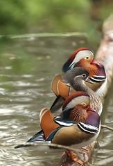 Mandarins, WWT Slimbridge, UK (inyathi) Tags: uk england gloucestershire wwt slimbridge wildfowlandwetlandstrust wildfowl waterfowl birds ducks mandarins mandarinducks aixgalericulata