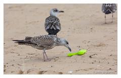 """""""Oh no! More plastic on the beach?!!!..."""" (Joao de Barros) Tags: joão barros seagull bird"""