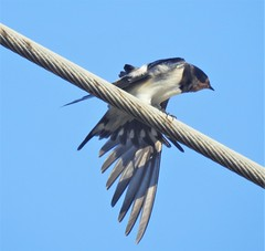 Swallow - Wing Extension (Gilli8888) Tags: greece macedonia sithonia nikon p900 coolpix halkidiki vatopedi macedoniagreece macedoniatimeless makedonia birds swallows linear powerlines wing