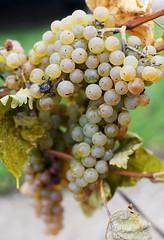 Ready for Harvest (Anthony Mark Images) Tags: vineyard vines grapes niagaraonthelake winery wine wineregion greengrapes inniskillinwinery reislinggrapes ontario vqa canada niagarawinergion harvesttime