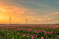 Wind turbines marching home in single file after a day's work. (Alex-de-Haas) Tags: 1635mm d500 dutch europa europe holland nederland nederlands netherlands nikkor nikkor1635mm nikon nikond500 noordholland agriculture akkerbouw beautiful beauty bloemen bloemenvelden boerenland bollenvelden bulbfields carbonneutral electricity elektriciteit energie energy farmland farming flowerfields flowers groenestroom landbouw landscape landscapephotography landschaft landschap landschapsfotografie lente lucht mooi polder pracht renewable renewableenergy renewables schoonheid skies sky spring sundown sunset tulip tulips tulp tulpen wind windenergy windfarm windpark windpower windturbine windenergie windmolen windmolenpark zonsondergang burgerbrug northholland