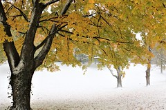 Fall and Winter (DaveH1970) Tags: snow trees leaves yellow november 2019