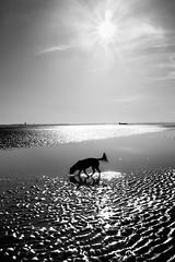 ˈjü-(ˌ)nō (PJT.) Tags: juno dog spaniel silhouette sunburst beach sea water ripple sun formby estuary liverpool mersey ship container glare star burst