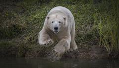 Comin' at ya... (Jonnyfez) Tags: polar bear white dive jonnyfez d750 yorkshire wildlife park water project leap jump