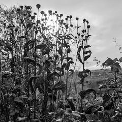 Flowers, leaves curling, touch the sun (Richie Rue) Tags: flowers garden autumn fall haiku blackandwhite monochrome bnw bw mediumformat square 6x6 foma fomafomapan200 coldinal rodinal mindfulphotography contemplativephotography outdoors flora plants nationaltrust yorkshire riddlesdenhall