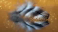 fuzzy feather (Emma Varley) Tags: feather glass reflection macromondays fuzzy bokeh golden shallowdof