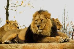 Asiatic Lion  (Panthera leo persica) (Seventh Heaven Photography - (Fauna)) Tags: asiatic asian lion leo persica panthera pantheraleopersica animal mammal carnivore iblis male felidae chester zoo cheshire england nikond3200 kumari kiburi female sister lioness