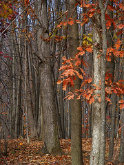 Light and Dark Woods (kfocean01) Tags: autumn fall nature tree trees oak orange color earthy leaves woods woodland photoshop photomanipulation patterns creativephotography create netartii posteredges