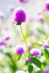 DSC05698 (Keishi Etoh rough-and-ready photoglaph) Tags: sony a7ⅱ sonya7ⅱ 35mmfullframe ilce7m2 sonyilce7m2 valdaihelios44258mmf20 58mm helios442 helios mf manualfocuslens primelens fixedfocallengthlens oldlens m42 単焦点 標準 modifiedsquareapertureblade flower