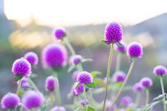 DSC05691 (Keishi Etoh rough-and-ready photoglaph) Tags: sony a7ⅱ sonya7ⅱ 35mmfullframe ilce7m2 sonyilce7m2 valdaihelios44258mmf20 58mm helios442 helios mf manualfocuslens primelens fixedfocallengthlens oldlens m42 単焦点 標準 modifiedsquareapertureblade flower