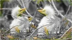 Cute Heron Puppies (sileneandrade10) Tags: sileneandrade garçabrancagrande collage ps photoediting photoart photoshopping photocollage artedigital digitalart filhotes effects selectivecolors splash ave bird pássaro natureza nature pb nikoncoolpixp1000 nikoncorporationcoolpixp1000 nikon artweekgallerygroup