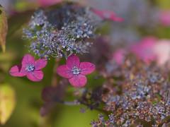 Hydrangea (upjohn_freak) Tags: hydrangea flower fleur fiore
