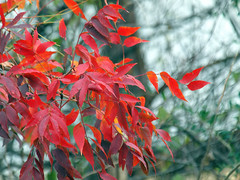 Scarlet (Kaptured by Kala) Tags: whiterocklake dallastexas winfreypoint autumn autumncolors autumnleaves fall fallcolors fallleaves chinesepistachetrees pistaciachinensis introduced redleaves scarlet nativetochina closeup