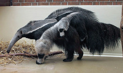 It's safe on mother's back (Schwanzus_Longus) Tags: mammal america animal ant anteater bear cute german germany giant long mouth snout snow south stripe tongue tropical wild zoo ameisenbär antbear tier outdoor säugetier dortmund