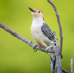 Red Bellied Woodpecker (Yer Photo Xpression) Tags: ronmayhew redbelliedwoodpecker bird nature birdwatching