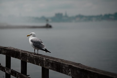 Seagull, Peaks Island, ME (High Water Media) Tags: portland maine cascobay seagull bird birds pier wood weathered ocean layers moody leadinglines hazy exterior water newengland