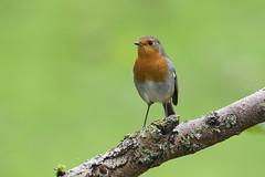 rouge gorge (eric.courant) Tags: rouge gorge robin oiseau oiseaux mayenne bird birds photo animalière