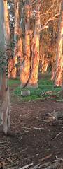 Late Afternoon Sun (lorinleecary) Tags: morrobaystatepark path morrobay bark eucalyptus patterns light