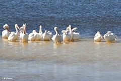 Sanibel Island - White Pelicans (Wayne the sailor) Tags: florida sanibelisland d5500 whitepelican dingdarlingwildliferefuge