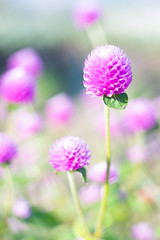 DSC05697 (Keishi Etoh rough-and-ready photoglaph) Tags: sony a7ⅱ sonya7ⅱ 35mmfullframe ilce7m2 sonyilce7m2 valdaihelios44258mmf20 58mm helios442 helios mf manualfocuslens primelens fixedfocallengthlens oldlens m42 単焦点 標準 modifiedsquareapertureblade flower